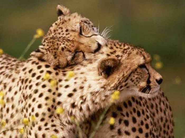 40 Animal Couples That Are So In Love -02