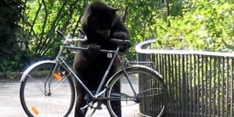 Animals Too Likes Bicycle – Bear Riding Bicycle