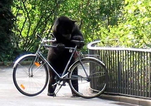 Animals Too Likes Bicycle - Bear Riding Bicycle