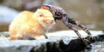 Rare Funny Battle Between Cat And Frog