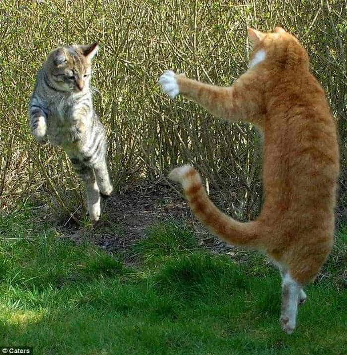 Cats Fighting Like Humans - 4 Funny Pics -02