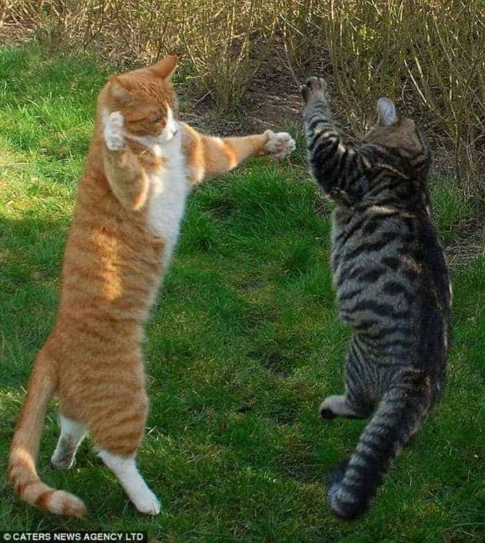 Cats Fighting Like Humans - 4 Funny Pics -04