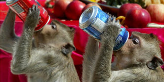 Who wins Coke or Pepsi? Funny Monkeys Drinking Soft Drink