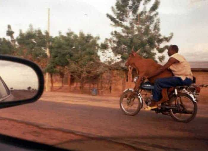 Who Drives Motorcycle - Cow Or A Man