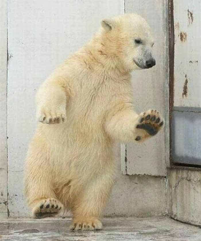 Crazy Dancing White Bear of The Day -01