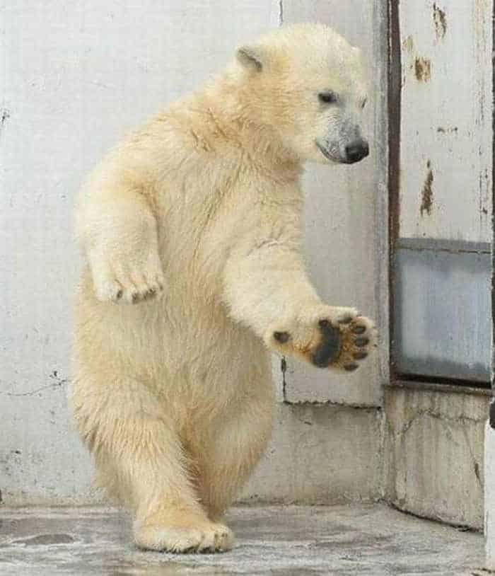 Crazy Dancing White Bear of The Day -02