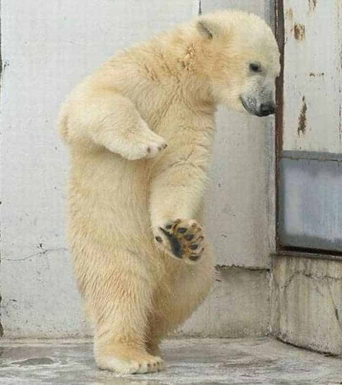 Crazy Dancing White Bear of The Day -04