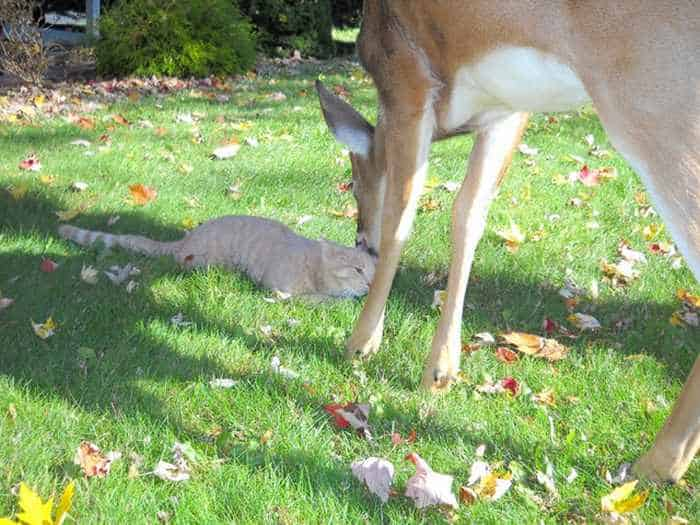 Funny Friends : Cat And Deer Friendship in Harrisburg -01