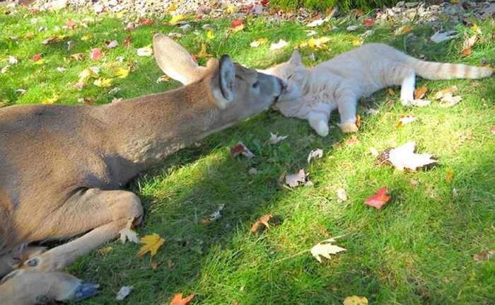 Funny Friends : Cat And Deer Friendship in Harrisburg -02