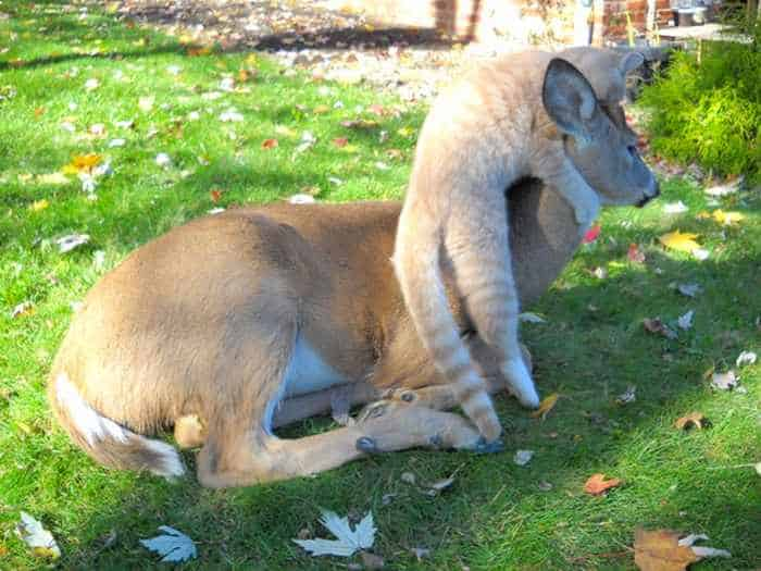 Funny Friends : Cat And Deer Friendship in Harrisburg -04