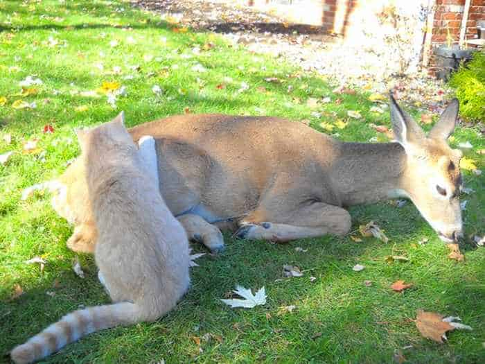 Funny Friends : Cat And Deer Friendship in Harrisburg -05