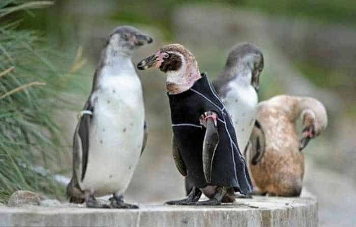 Funny Diving Suit For Penguin - 5 Pics -02
