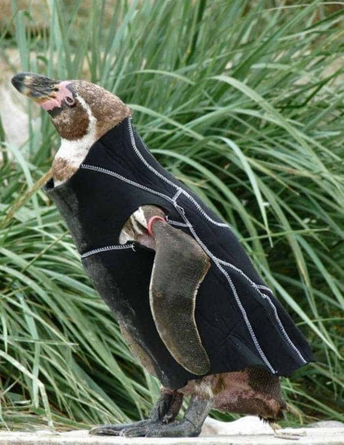 Funny Diving Suit For Penguin - 5 Pics -04