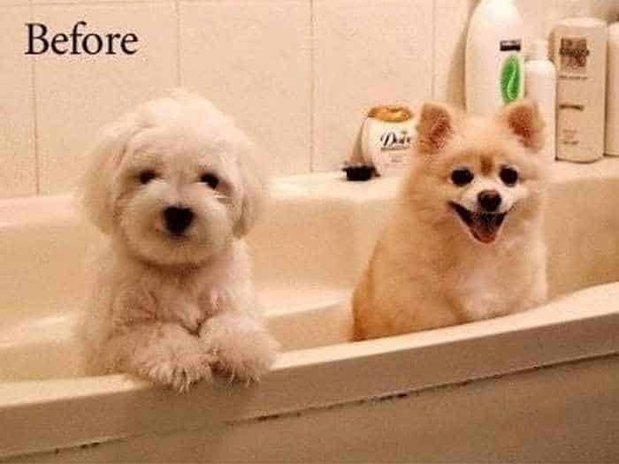 Funny Dogs Before and After Bath -01