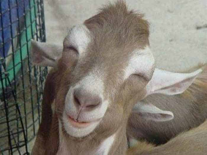 12 Funny Laughing Animals That Will Amaze You-12