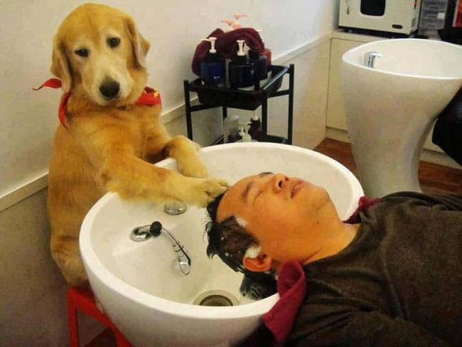 Funny Dog Working In Barber Shop Will Make Your Day