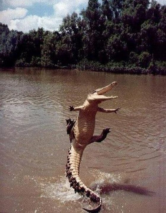 Funny Dancing Crocodile That Will Blow Your Mind