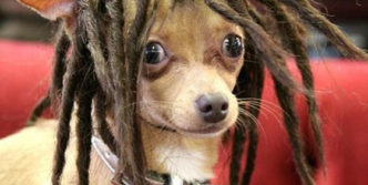 Crazy And Funny Dogs In Wigs – 50 Photos