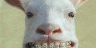 Funny Goat Has Teeth With Braces That You Never Seen Before