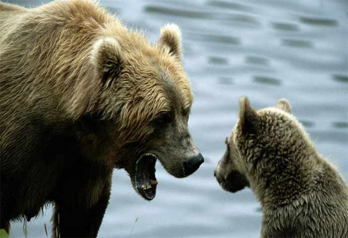 10 Funny Grizzly Bear Pictures That Are Hilarious -02