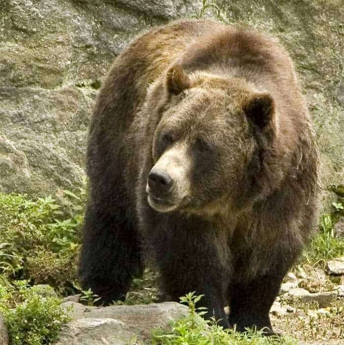 10 Funny Grizzly Bear Pictures That Are Hilarious -04