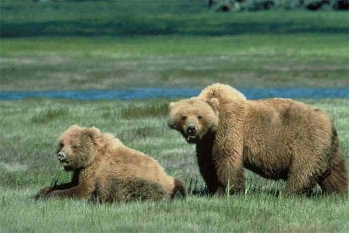 10 Funny Grizzly Bear Pictures That Are Hilarious -08