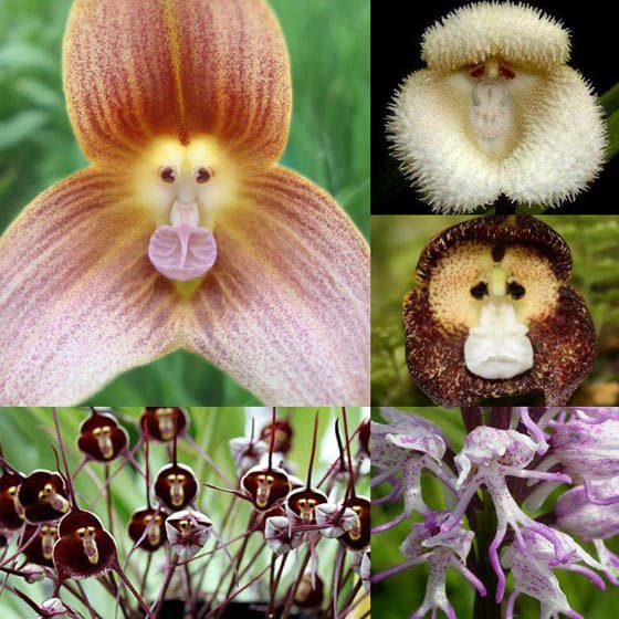 Funny Monkey Orchid Flowers That Are Mind Blowing