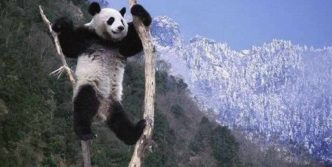 8 Funny Panda Pictures That Are Enjoying Snow