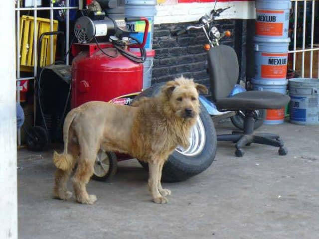 Is That Lion Or Dog? Mind Blowing Funny Dog of the Day
