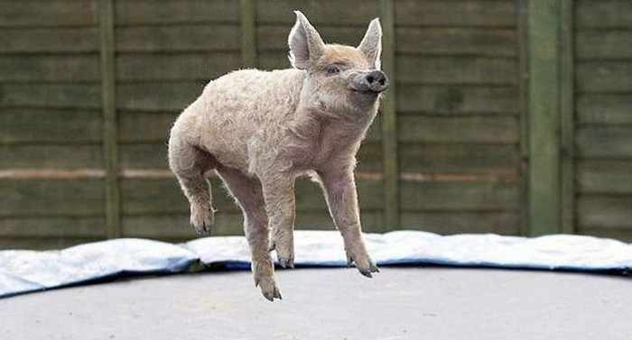 Funny Jumping Pig Captured At Right Time_01
