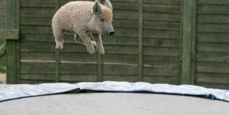 Funny Jumping Pig Captured At Right Time