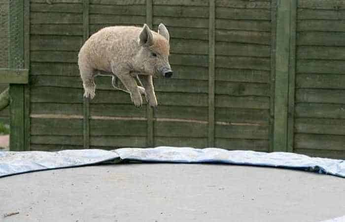 Funny Jumping Pig Captured At Right Time_02