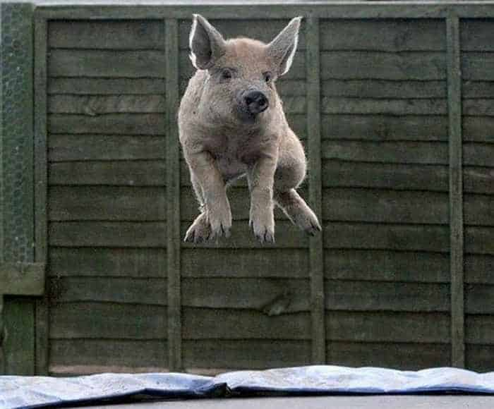 Funny Jumping Pig Captured At Right Time_03