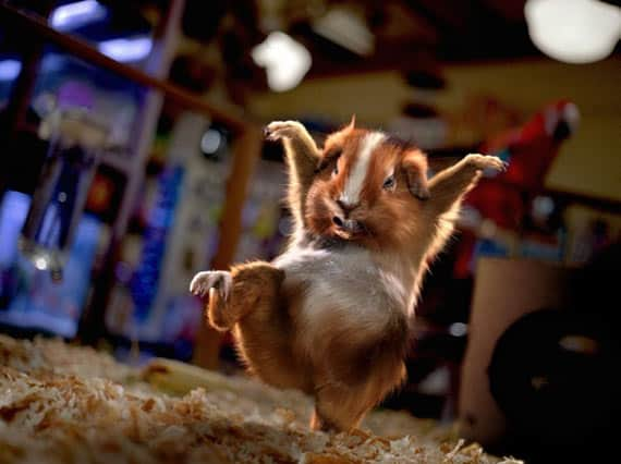 Funniest Image of The Rock Star Super Hamster