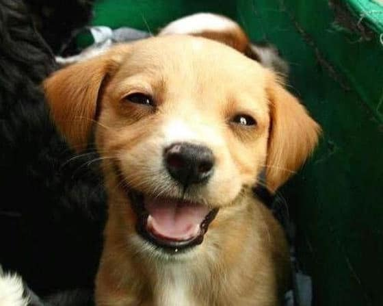 Top 10 Funny Smiling Dogs Of The Day Will Make You LOL -07