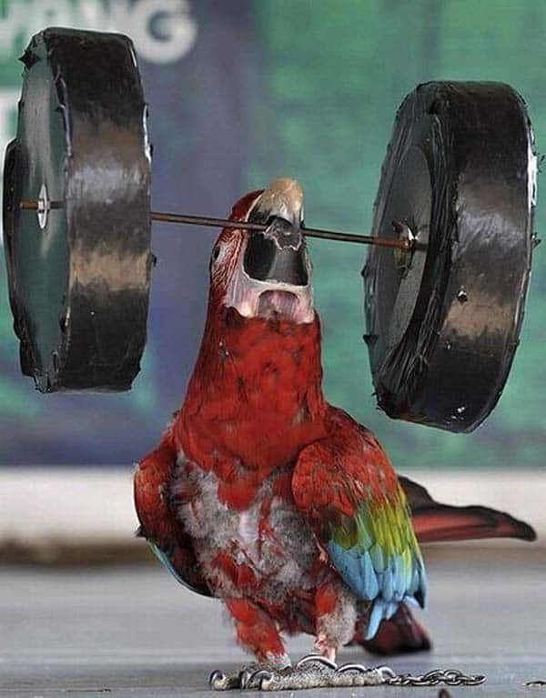 Funny Weight Lifter Parrot Will Blow Your Mind