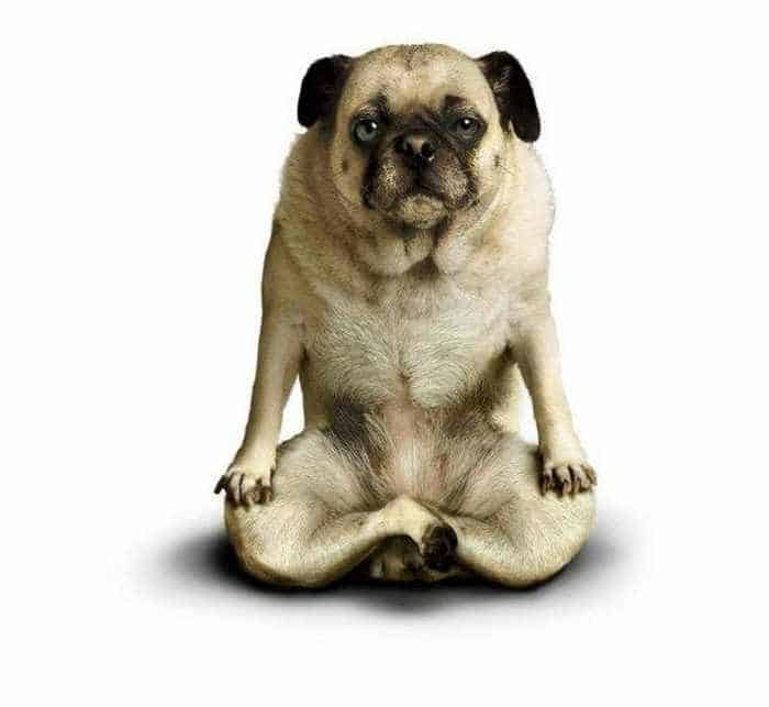 12 Mind-blowing Funny Pictures of Dogs Doing Yoga -01
