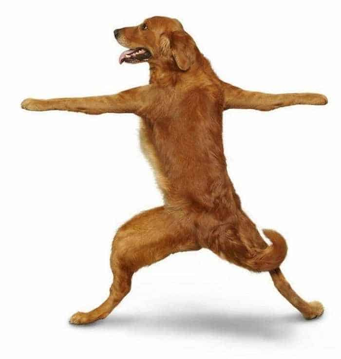 12 Mind-blowing Funny Pictures of Dogs Doing Yoga -05