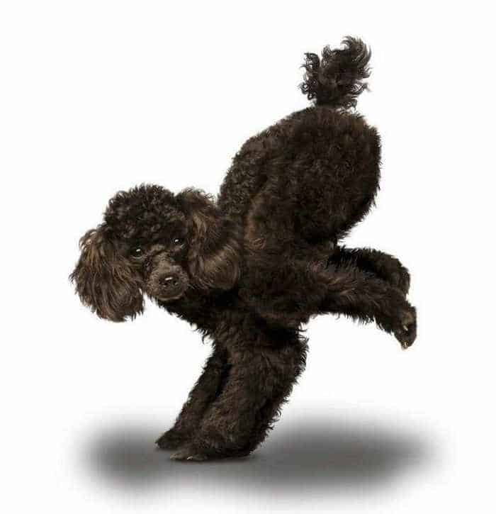 12 Mind-blowing Funny Pictures of Dogs Doing Yoga -07