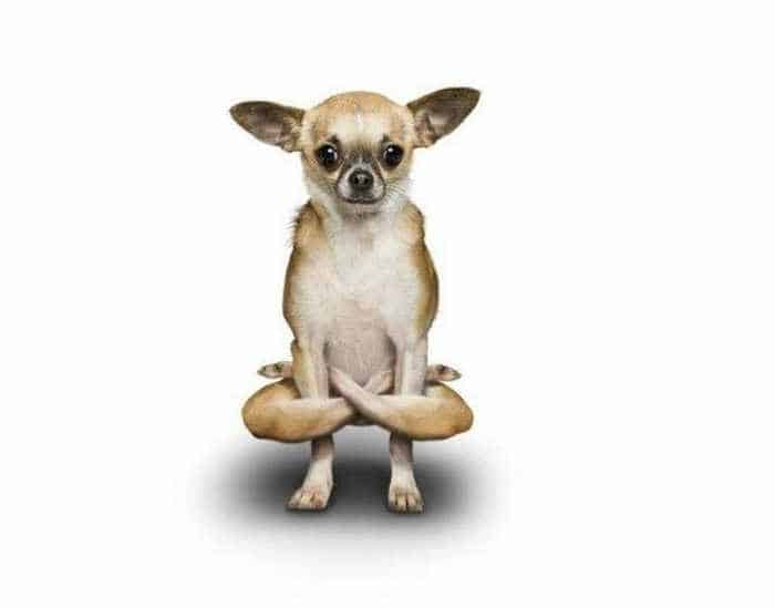 12 Mind-blowing Funny Pictures of Dogs Doing Yoga -08