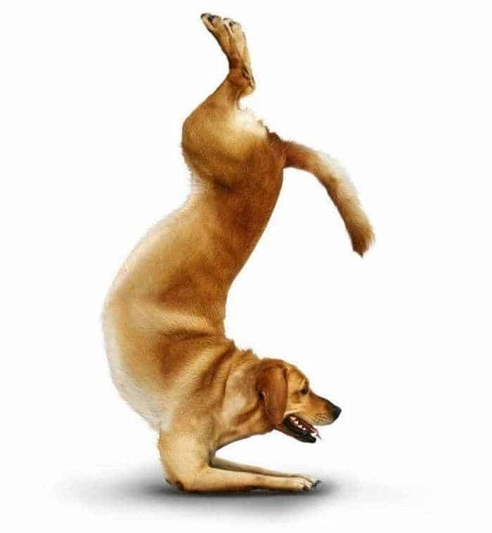 12 Mind-blowing Funny Pictures of Dogs Doing Yoga -09