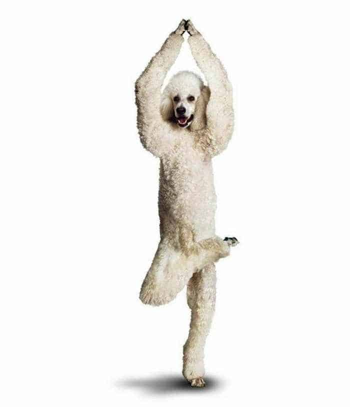 12 Mind-blowing Funny Pictures of Dogs Doing Yoga -10