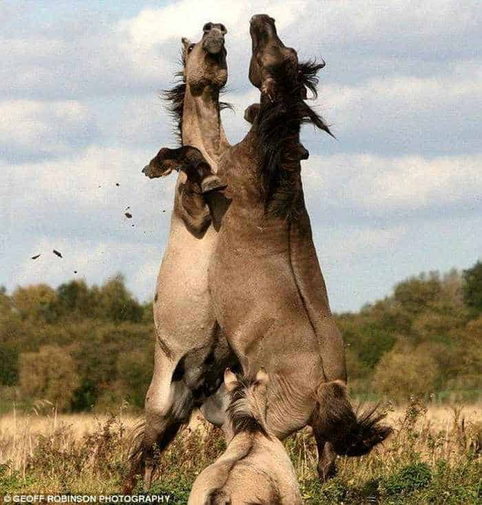 Awesome Funny Horse Fight Pictures -02