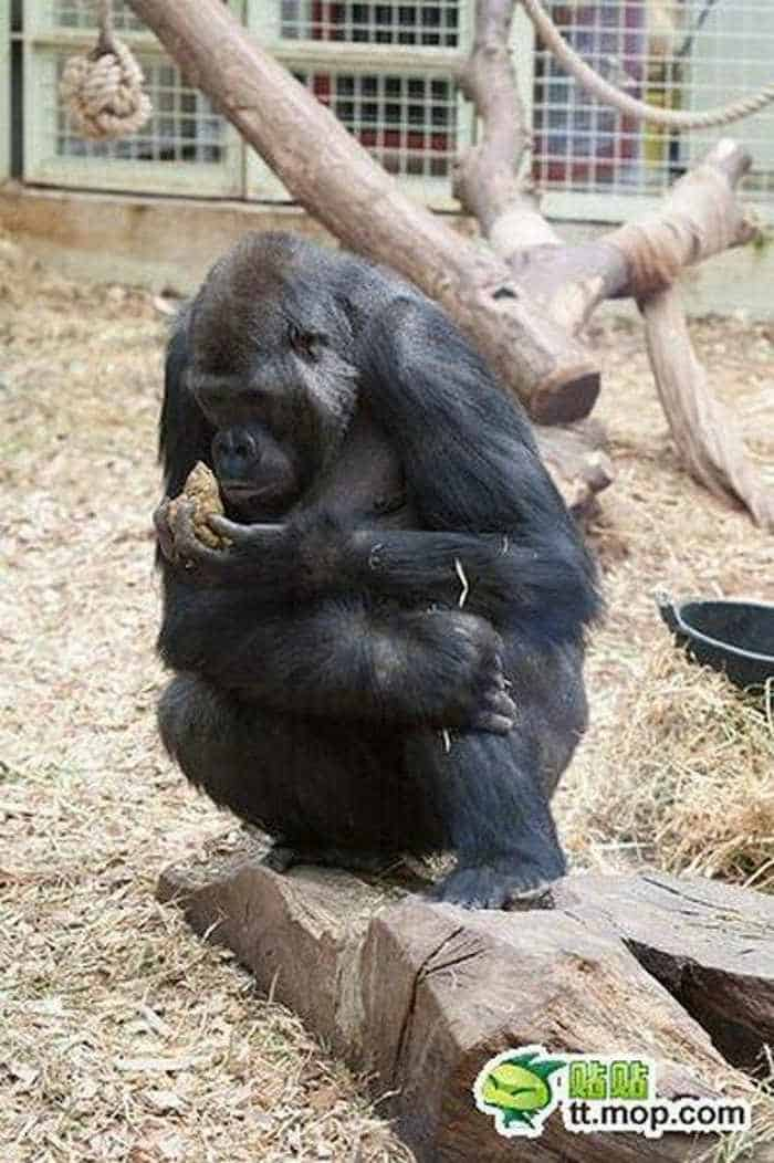 9 Funny Pictures of Very Hungry Monkey -03