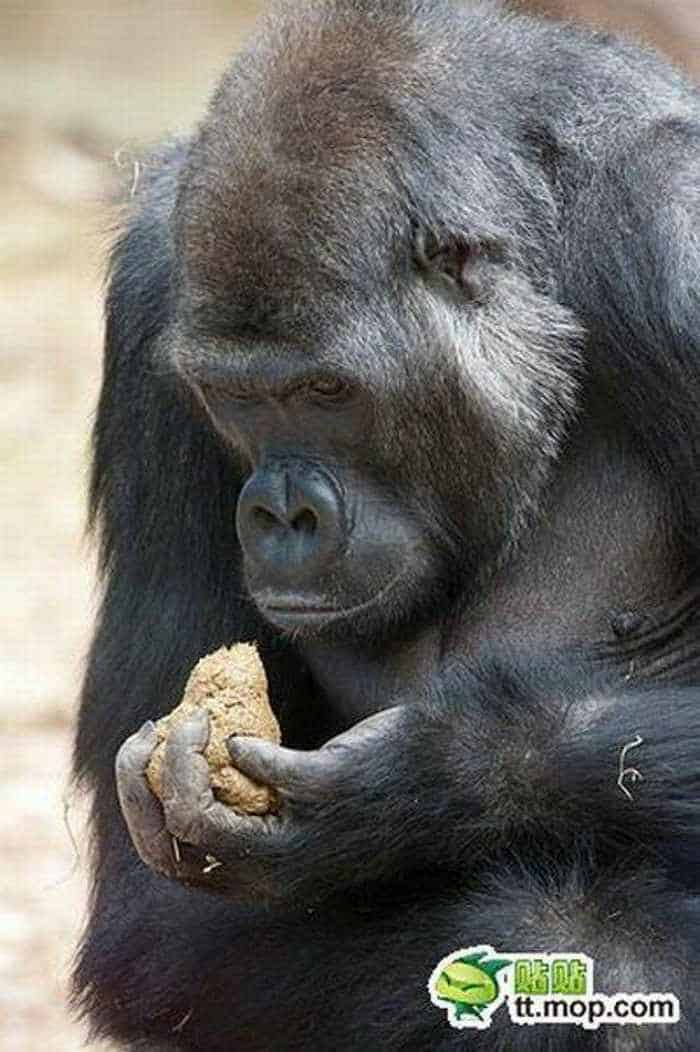 9 Funny Pictures of Very Hungry Monkey -07