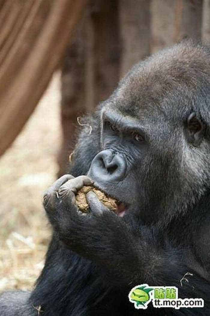 9 Funny Pictures of Very Hungry Monkey -08