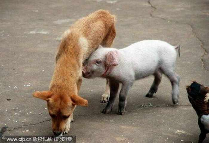 Meanwhile Funny Hungry Piglet In China -01