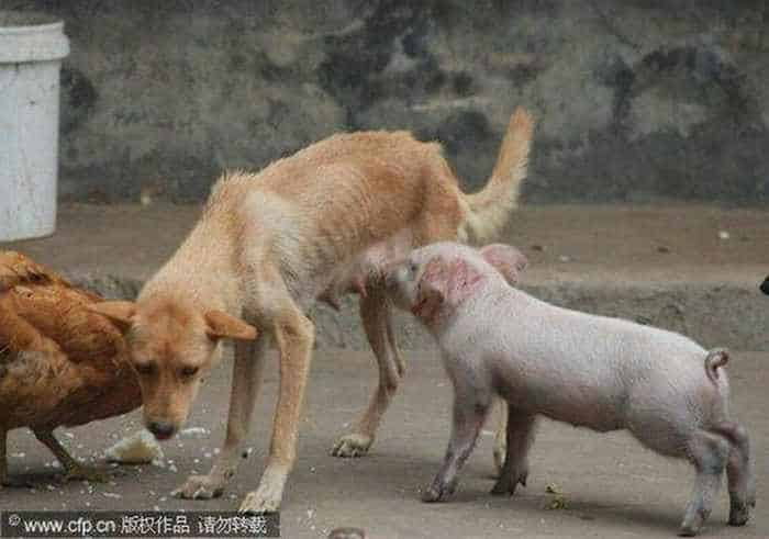 Meanwhile Funny Hungry Piglet In China -03