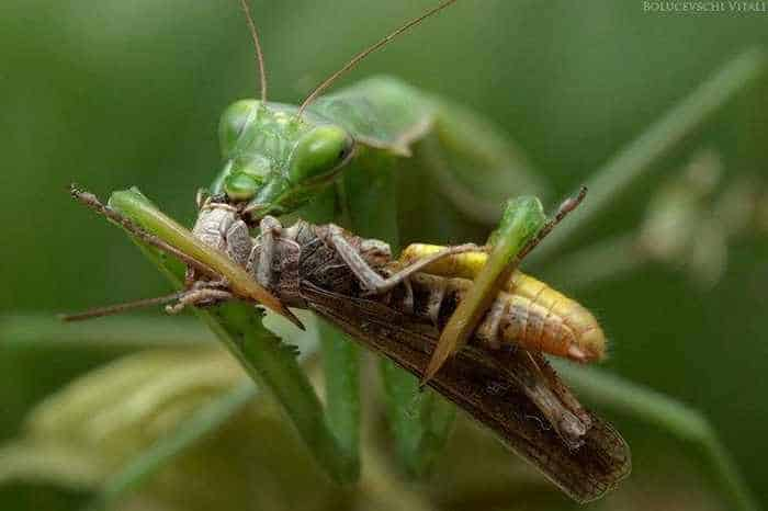 6 Awesome Pics of Mantis Breakfast Time -02