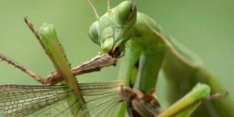 6 Awesome Pics of Mantis Breakfast Time